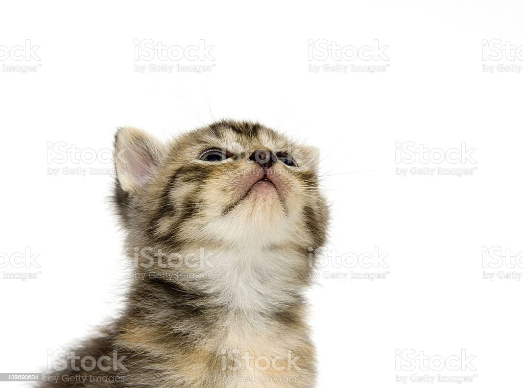 Kitten looking up on white background stock photo