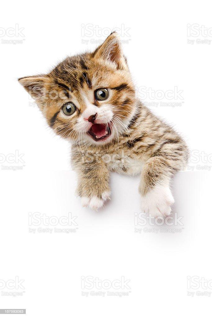 kitten make a speech stock photo