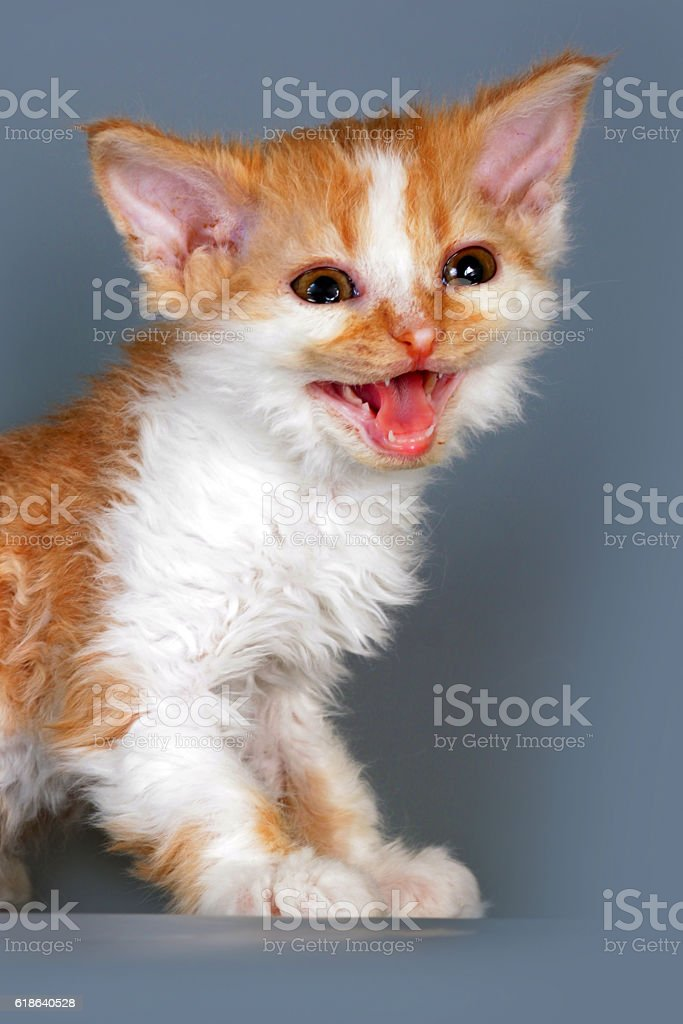 Kitten meows loudly, he fell ill and require veterinary care stock photo