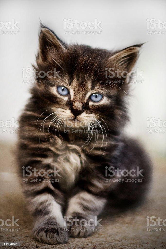 Kitten, Norwegian forest cat (Maine Coon) stock photo