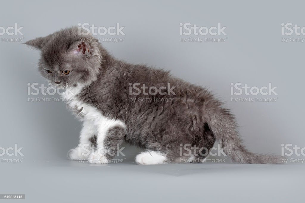 Kitten of breed Selkirk Rex grey-white color on gray background stock photo