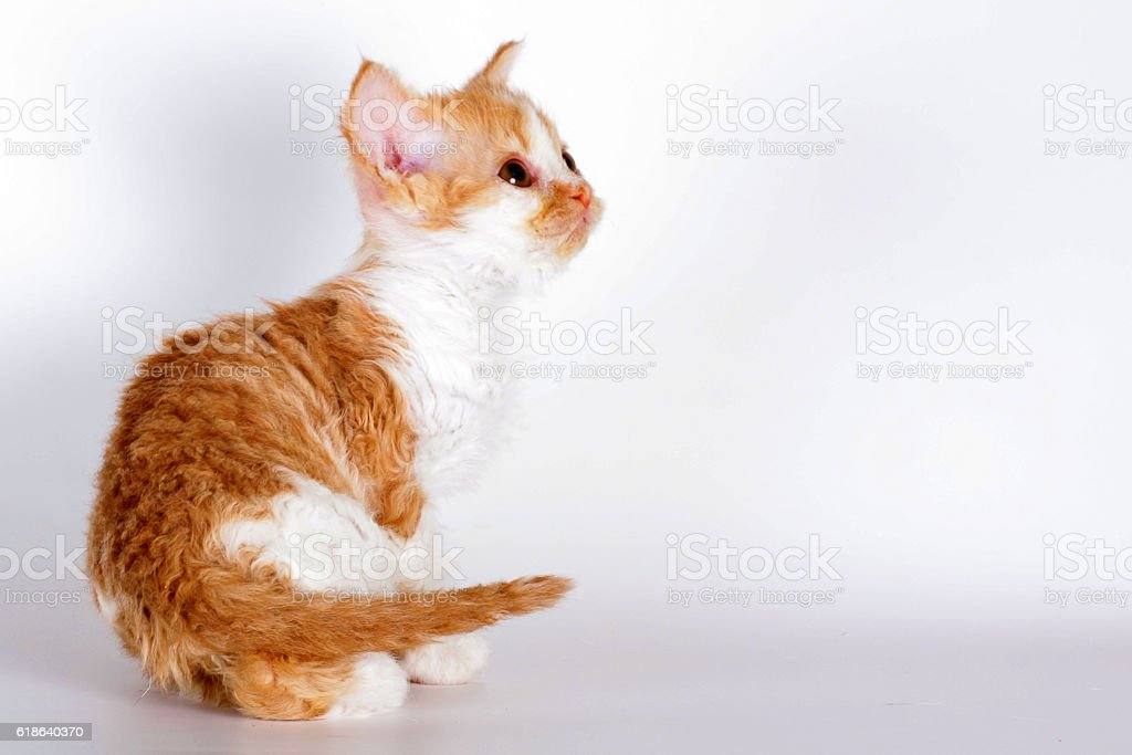 Kitten of breed Selkirk Rex red-white color light gray stock photo