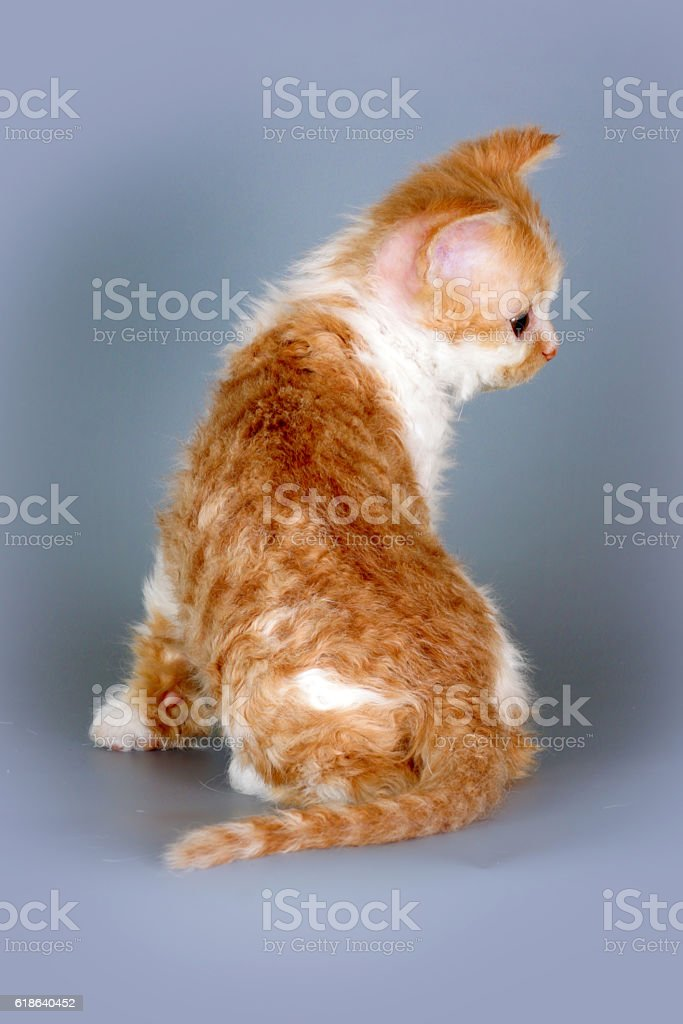 Kitten of breed Selkirk Rex red-white color on gray background stock photo