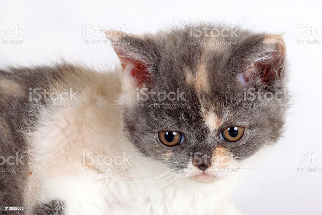 Kitten of breed Selkirk Rex tricolor color white background stock photo