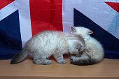kitten of British breed