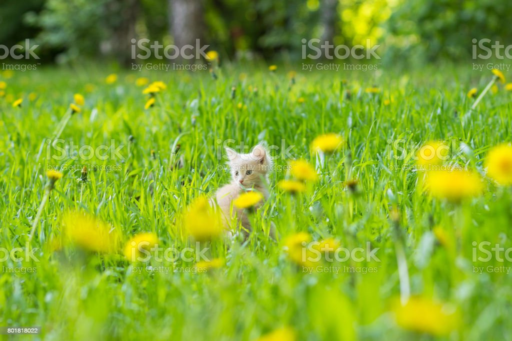 Kitten of red color in a clearing in the grass among flowering dandelions stock photo