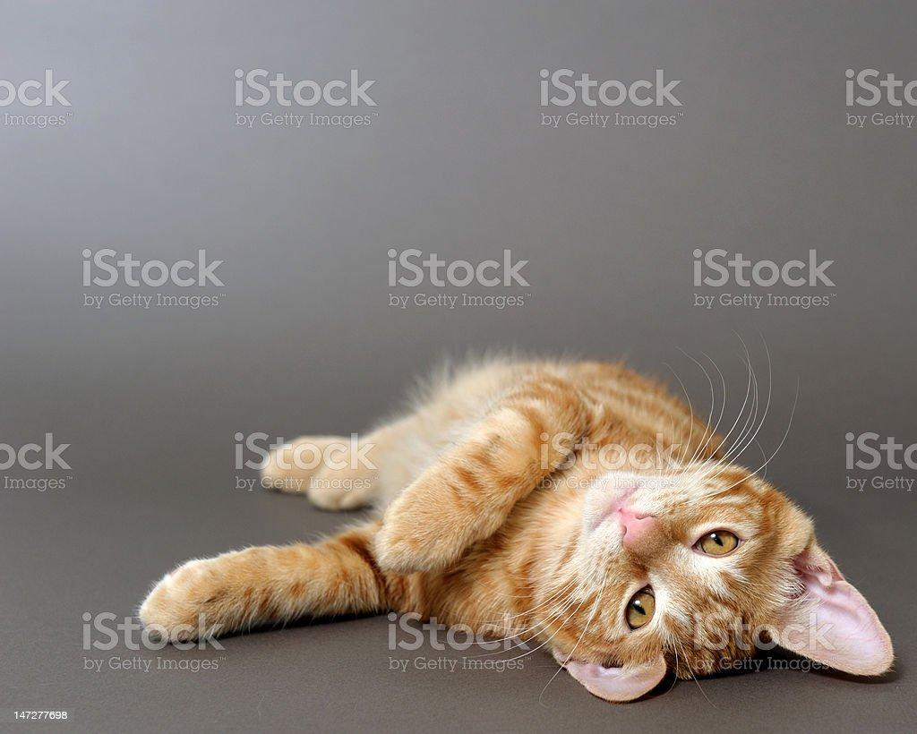 kitten on a gray background (breed - kurilian bobteil) royalty-free stock photo