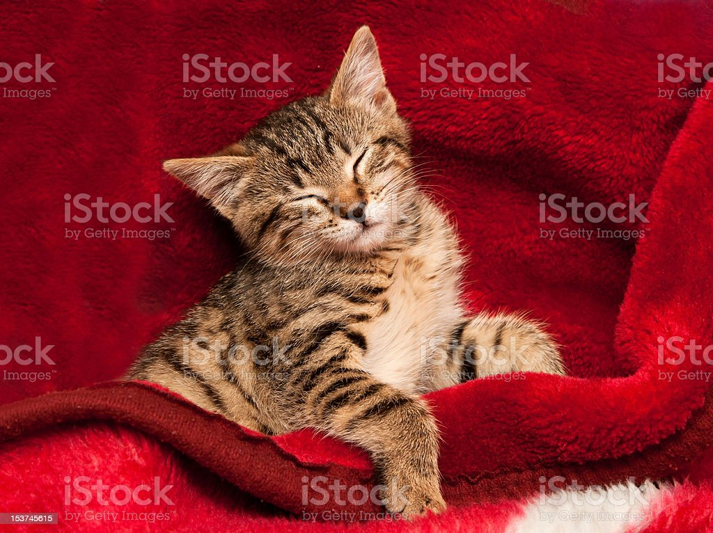 Kitten on a red blanket royalty-free stock photo