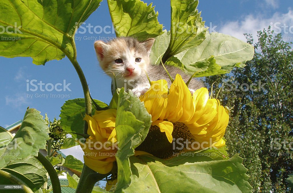Kitten on a sunflower stock photo