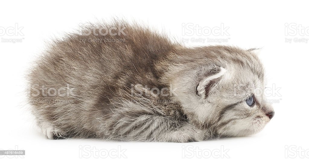 Kitten on a white background royalty-free stock photo