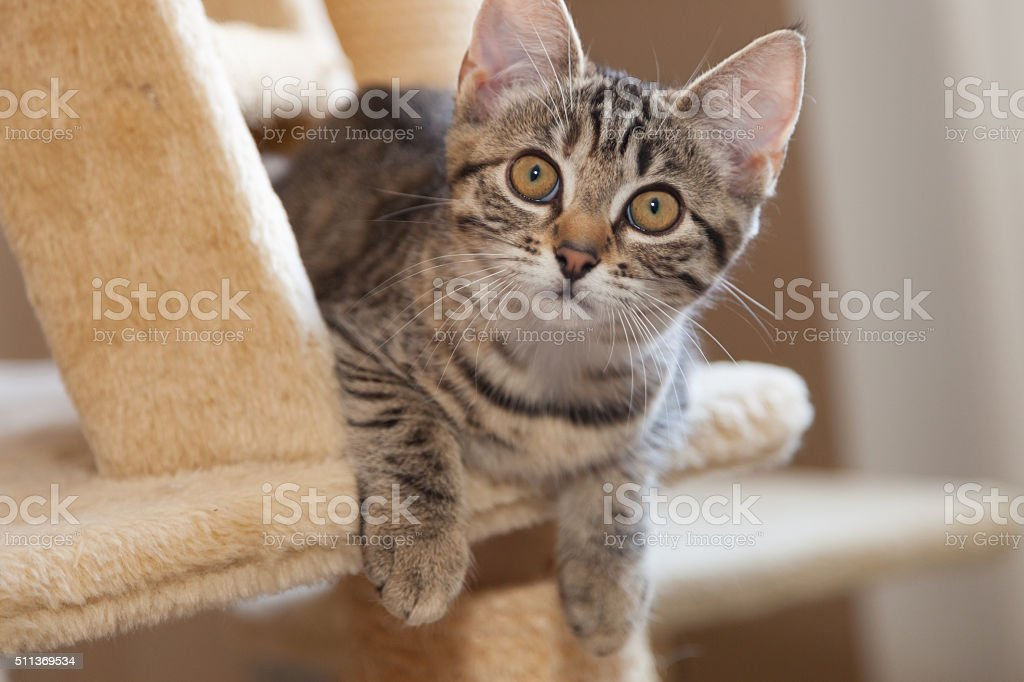 kitten on cat tree furniture stairs stock photo