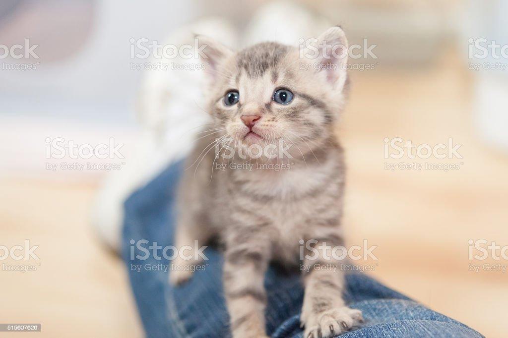 kitten on legs in jeans stock photo