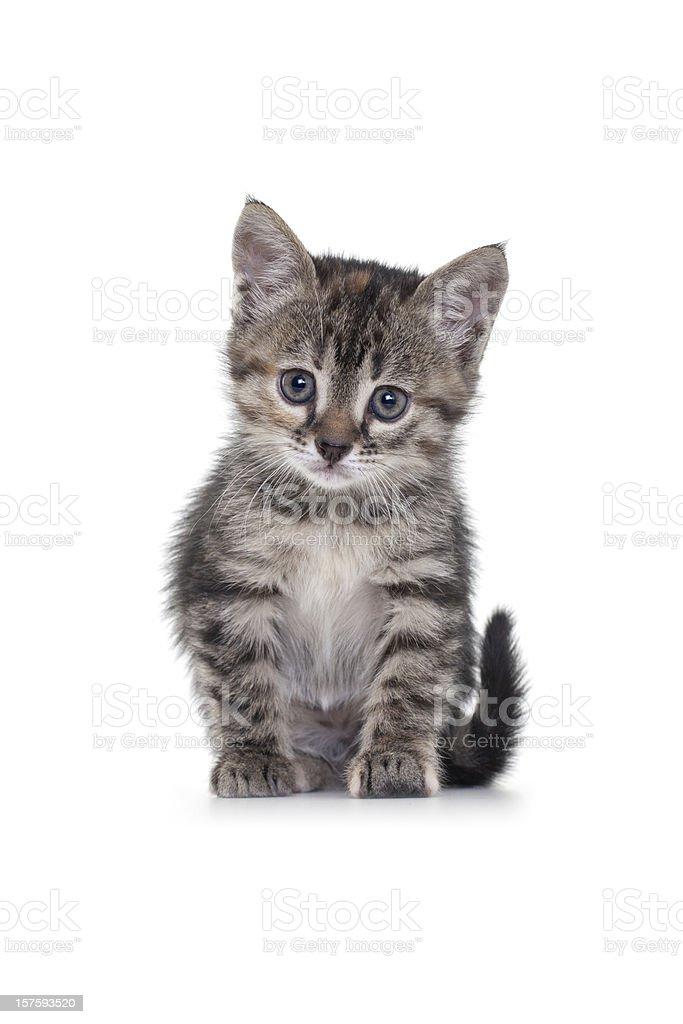 Kitten on White Background royalty-free stock photo