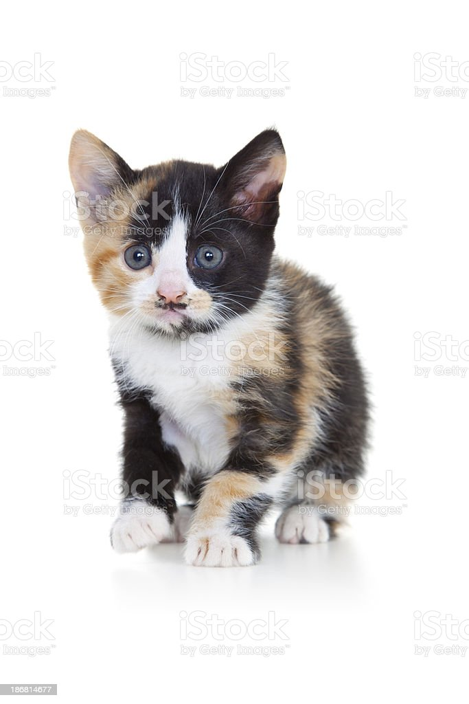 Kitten on White Background royalty-free stock photo