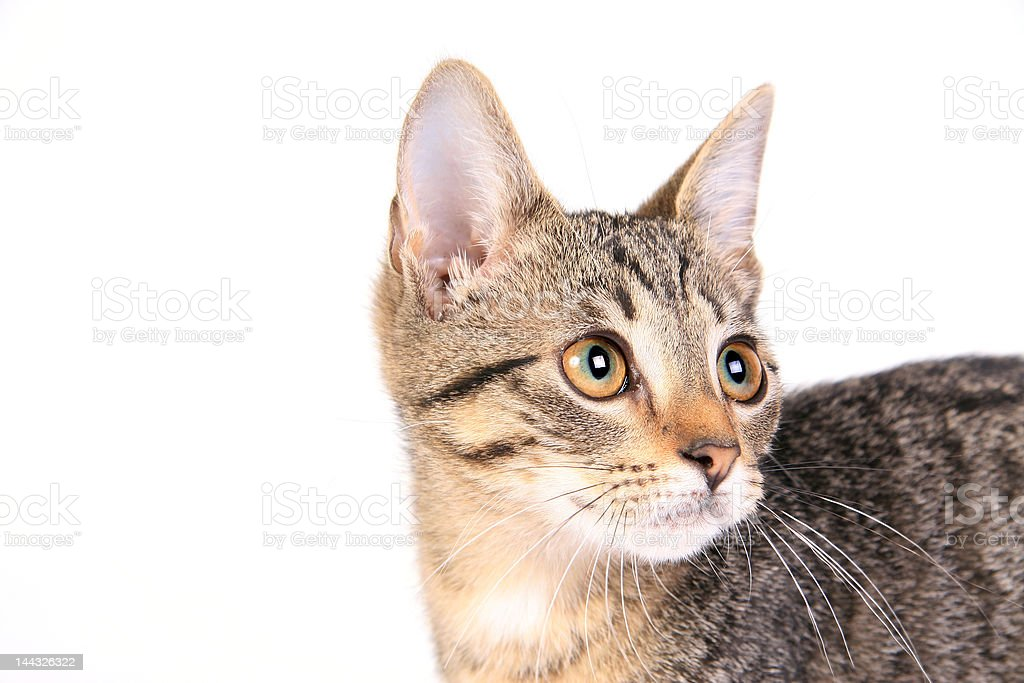Kitten on white royalty-free stock photo