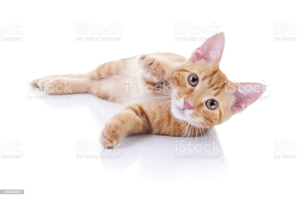 Kitten On White stock photo