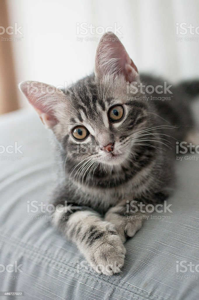Gattino stock photo