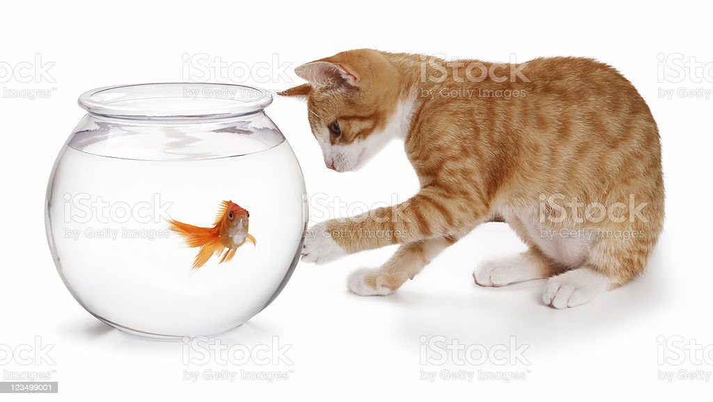 Kitten Playing with Golfish stock photo