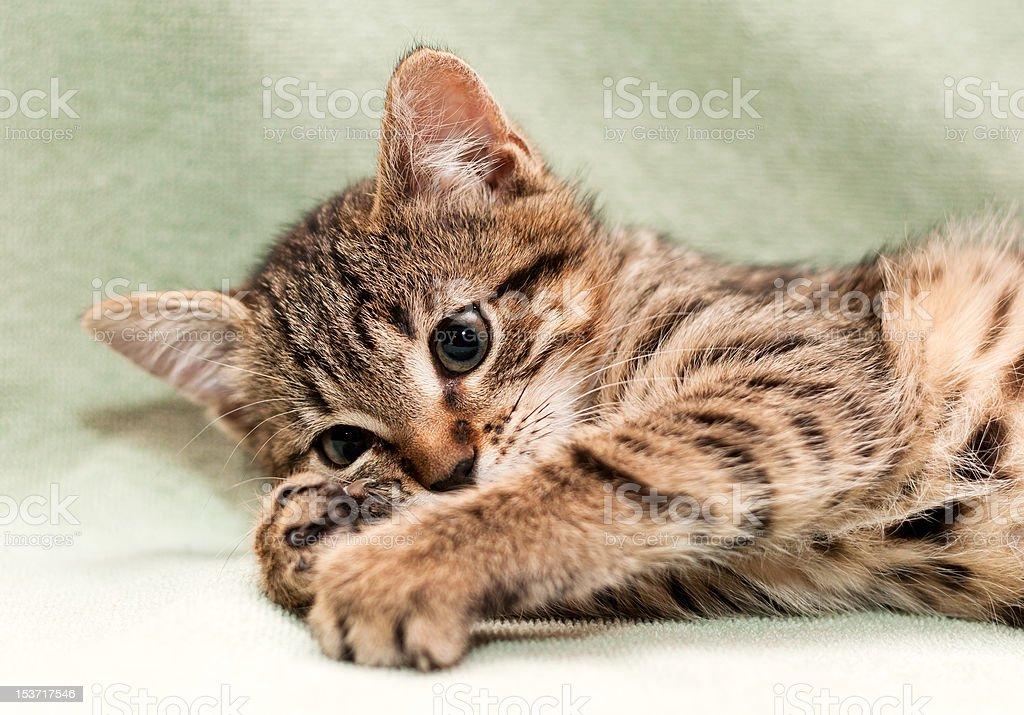 Kitten plays royalty-free stock photo