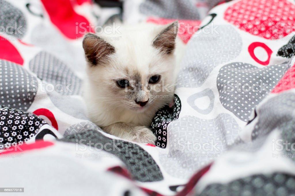 kitten pleated beds stock photo