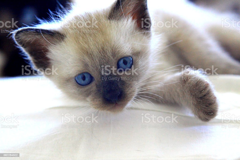 kitten resting stock photo