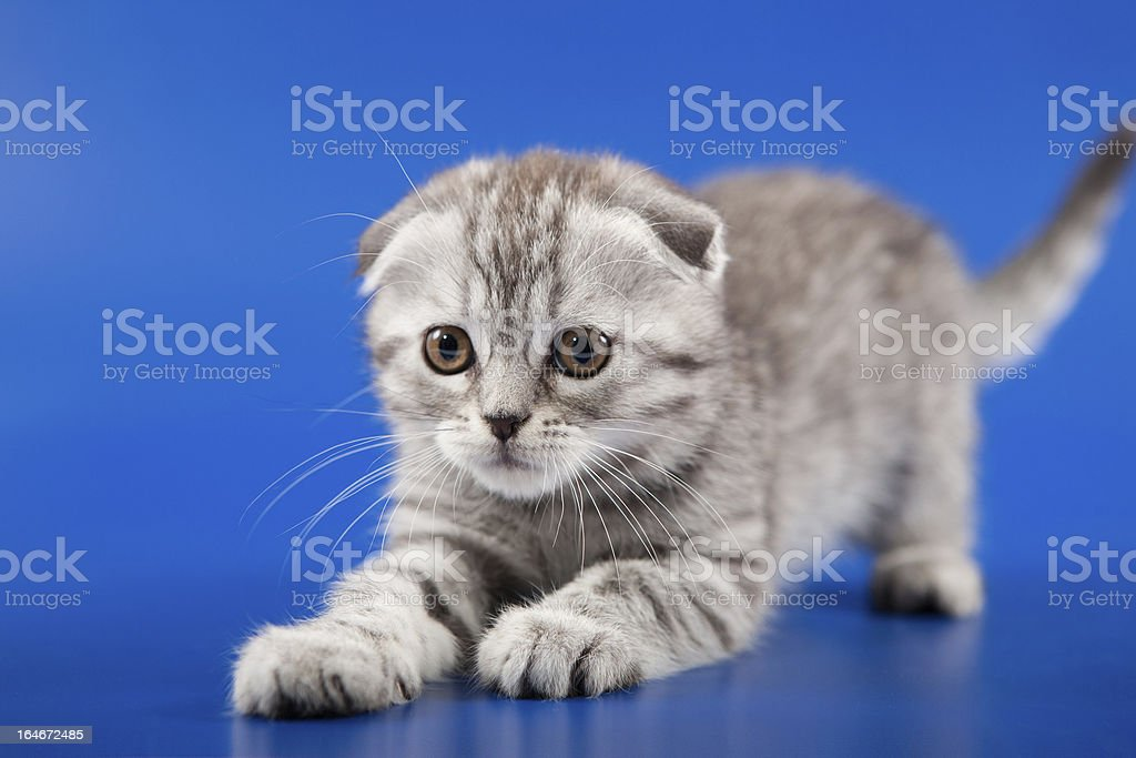 Kitten scottish fold breed royalty-free stock photo