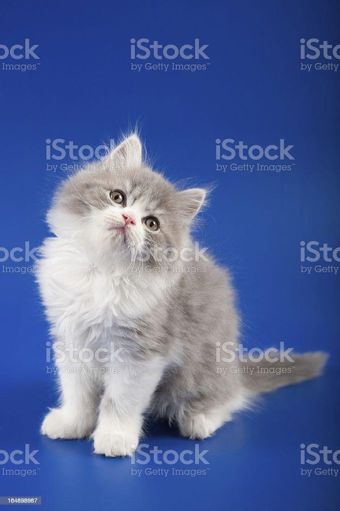 Kitten scottish straight breed royalty-free stock photo