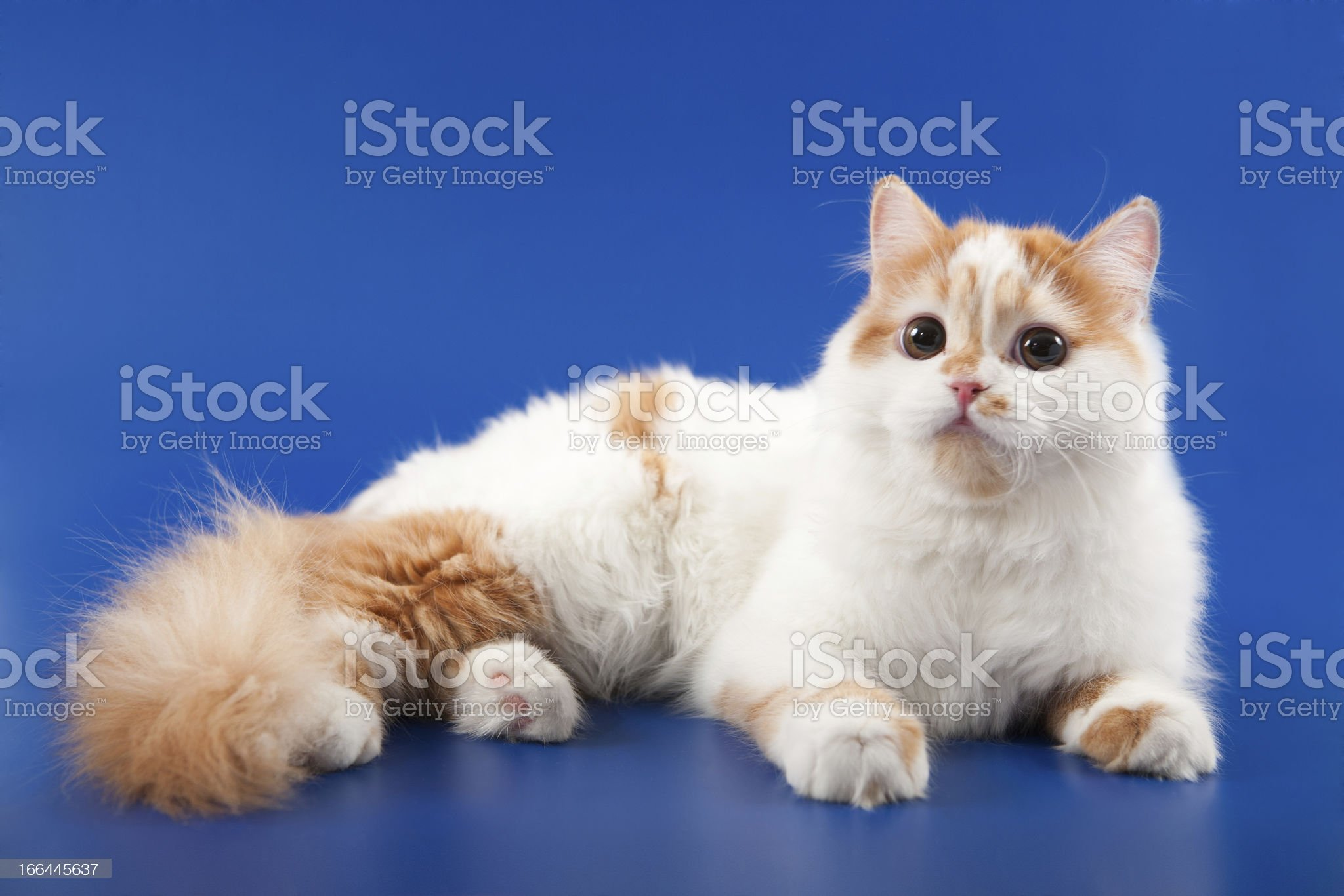 Kitten scottish straight breed royalty-free stock photo