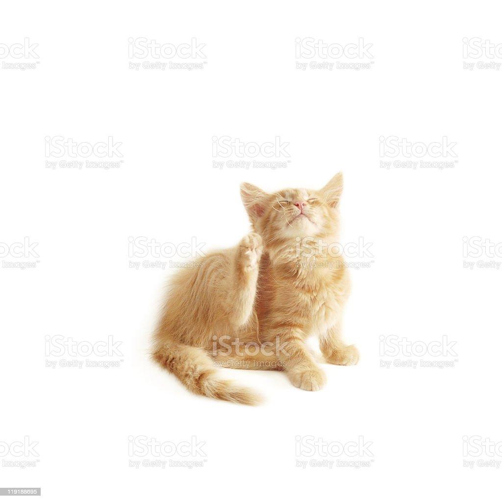 kitten scratching royalty-free stock photo