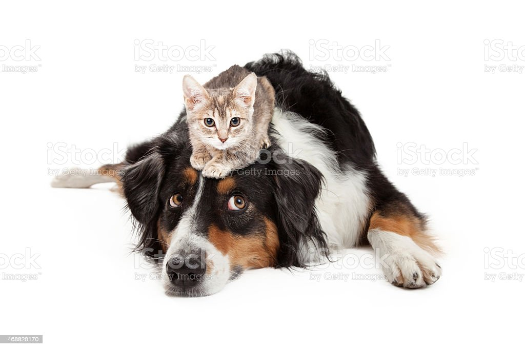 Kitten Sitting on Patient Large Dog stock photo