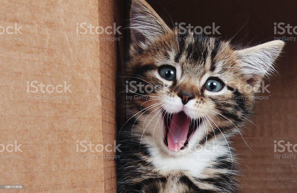 Kitten smiling stock photo