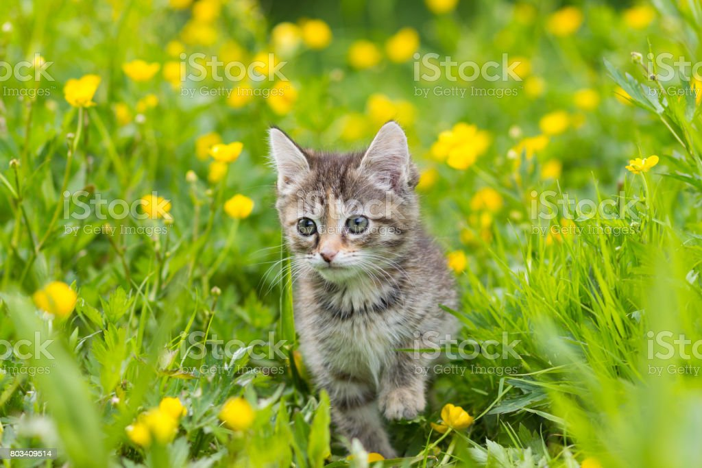 Kitten tortoiseshell color on a clearing in the grass among the yellow flowers stock photo