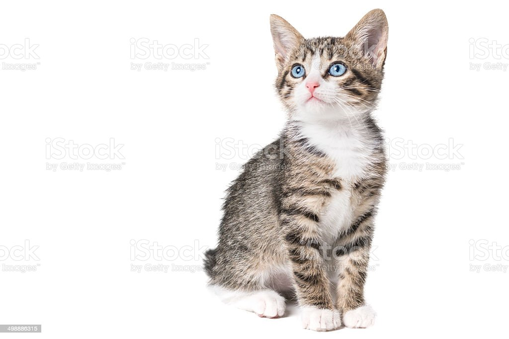Kitten with blue eyes. stock photo