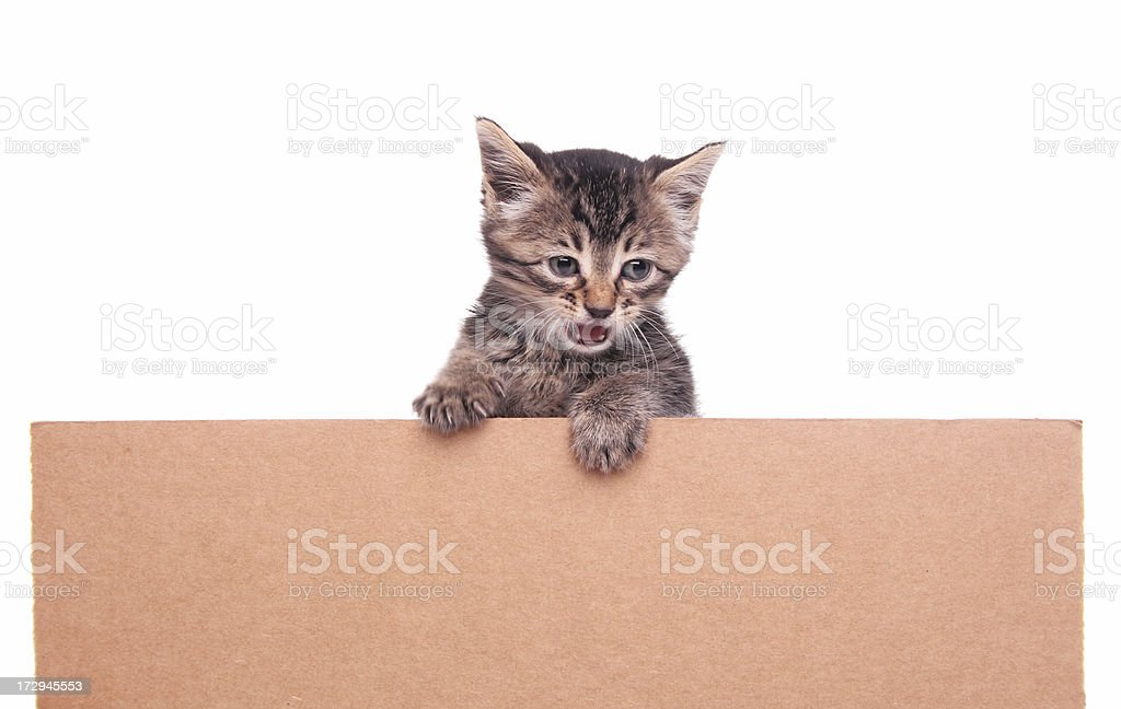 Kitten With Copy Space royalty-free stock photo