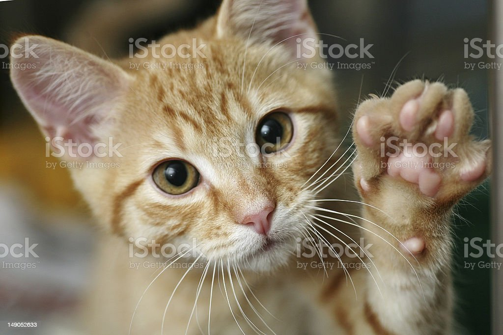 Kitten with his paw up stock photo