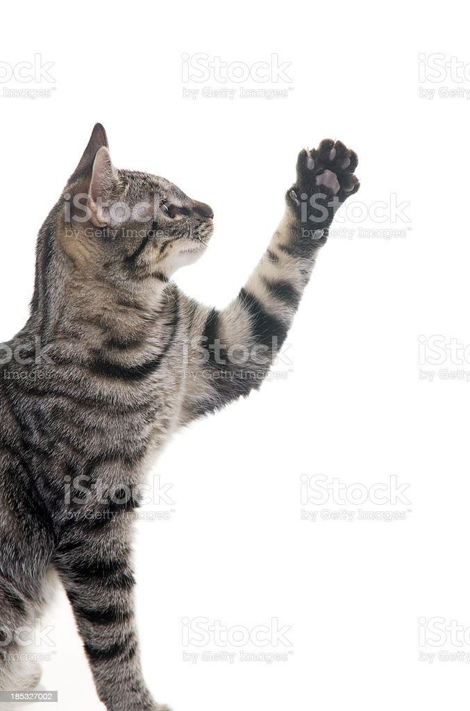 Kitten with Paw Up in Air stock photo