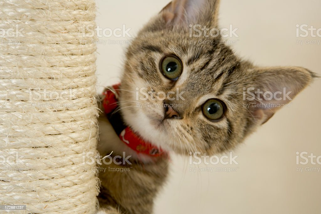 Kitten with red collar peeking out from a scratching post stock photo