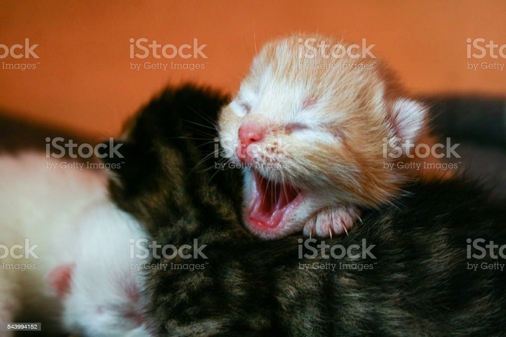 Kitten Yawning stock photo