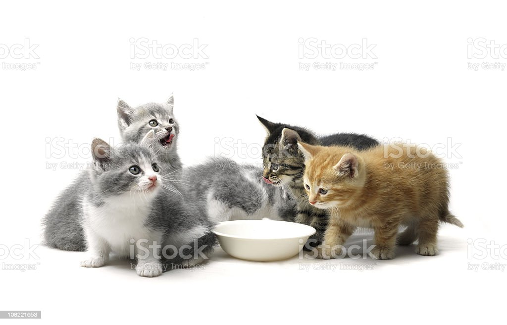 Kittens Eating From Animal Food Bowl stock photo