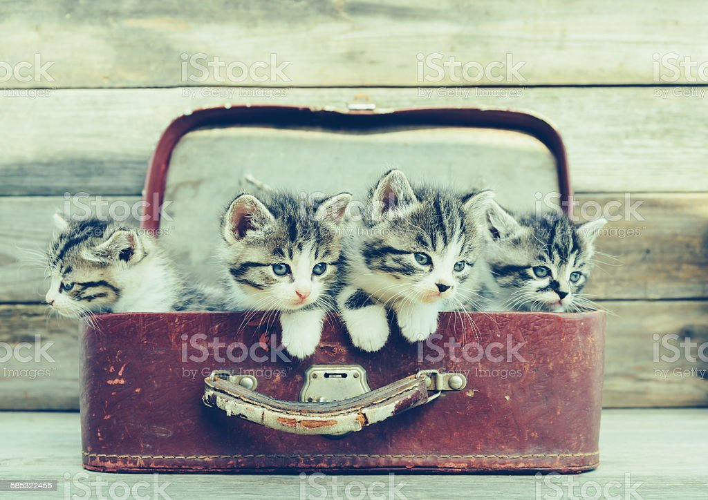 Kittens in a suitcase stock photo