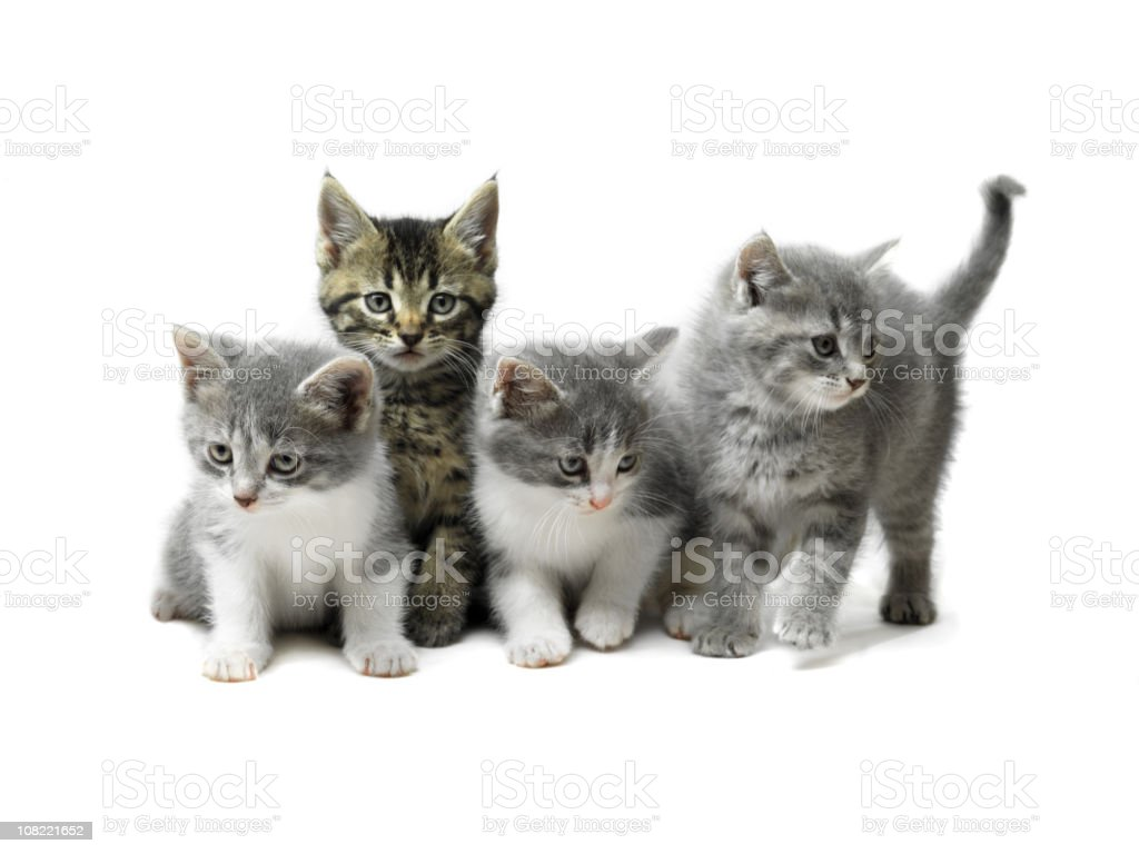 Kittens Isolated on White stock photo