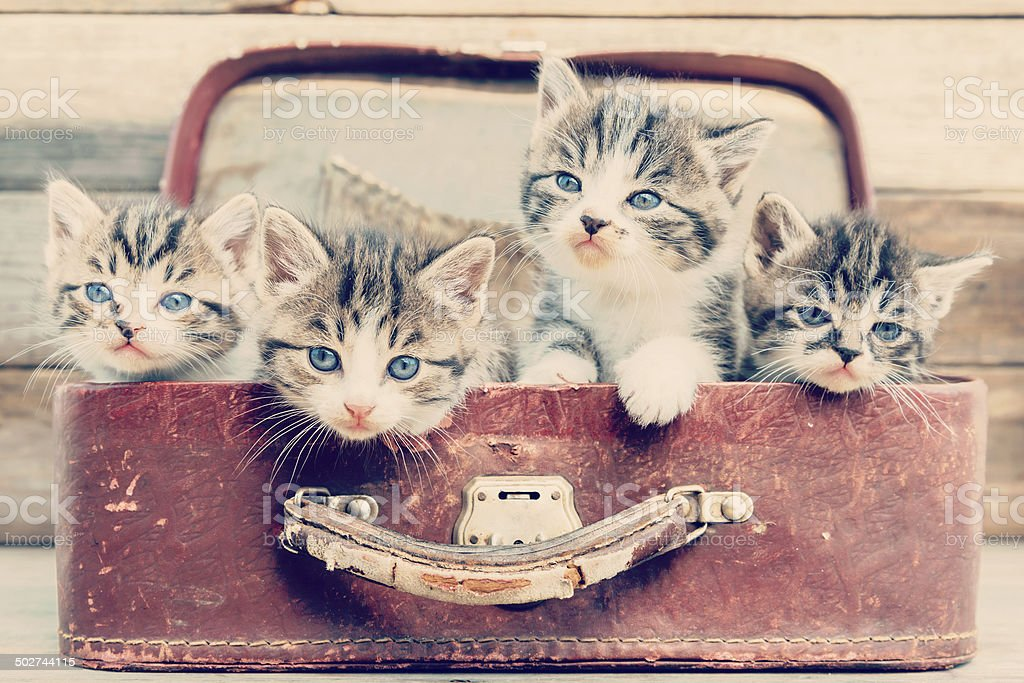 Kittens look out from suitcase stock photo