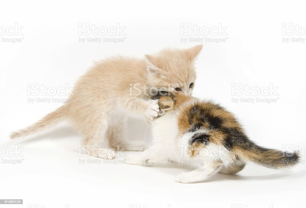 Kittens playing on white background royalty-free stock photo