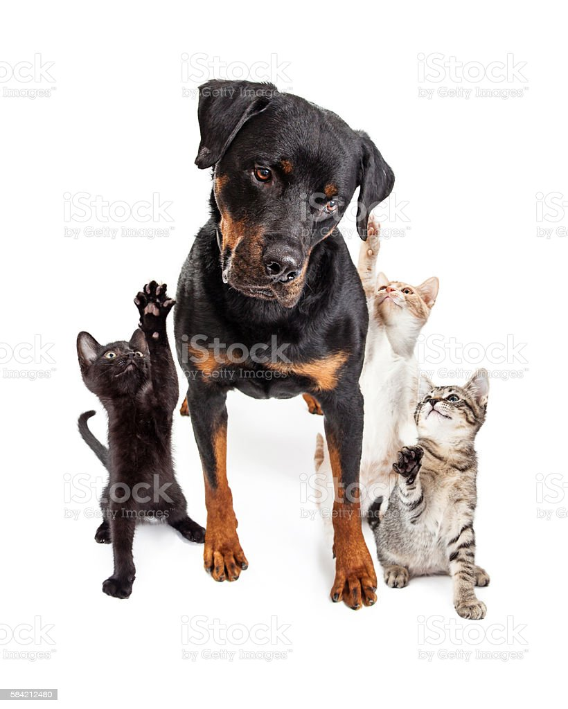 Kittens Playing With Big Friendly Dog stock photo