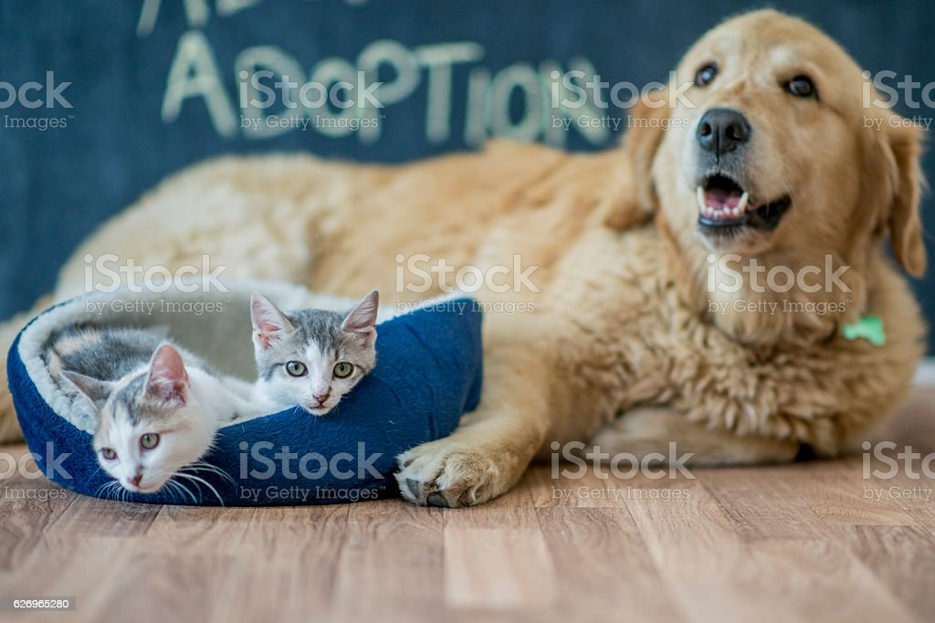 Kittens Sitting by a Golden Retriever stock photo