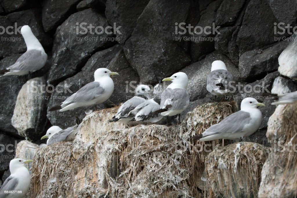 Kittiwake and chick stock photo