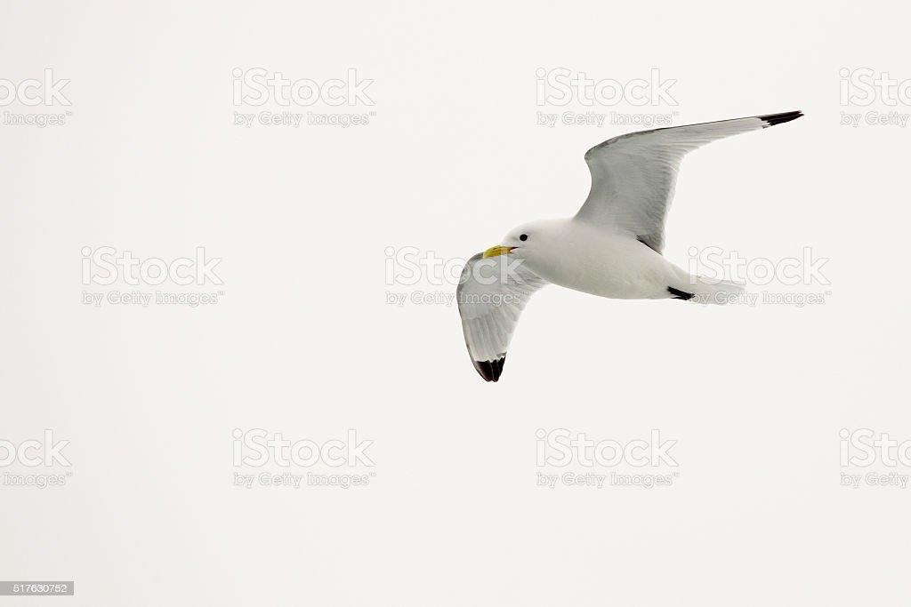 Kittiwake bird at Arctic Svalbard in flight stock photo