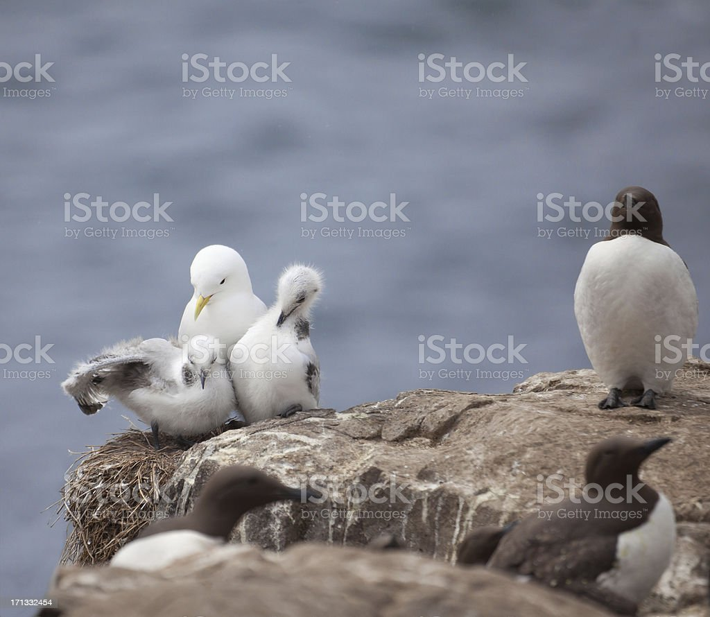 Kittiwake family with Guillemots; defocussed sea background stock photo