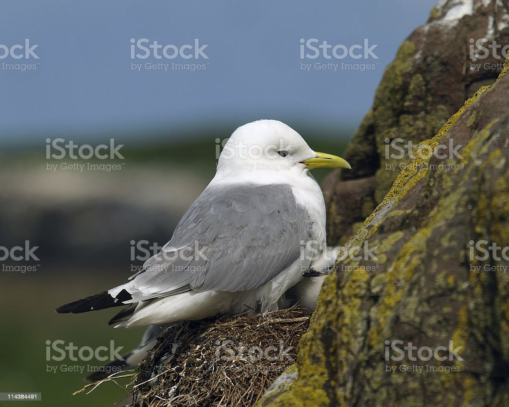 Kittiwake (Rissa tridactyla) stock photo