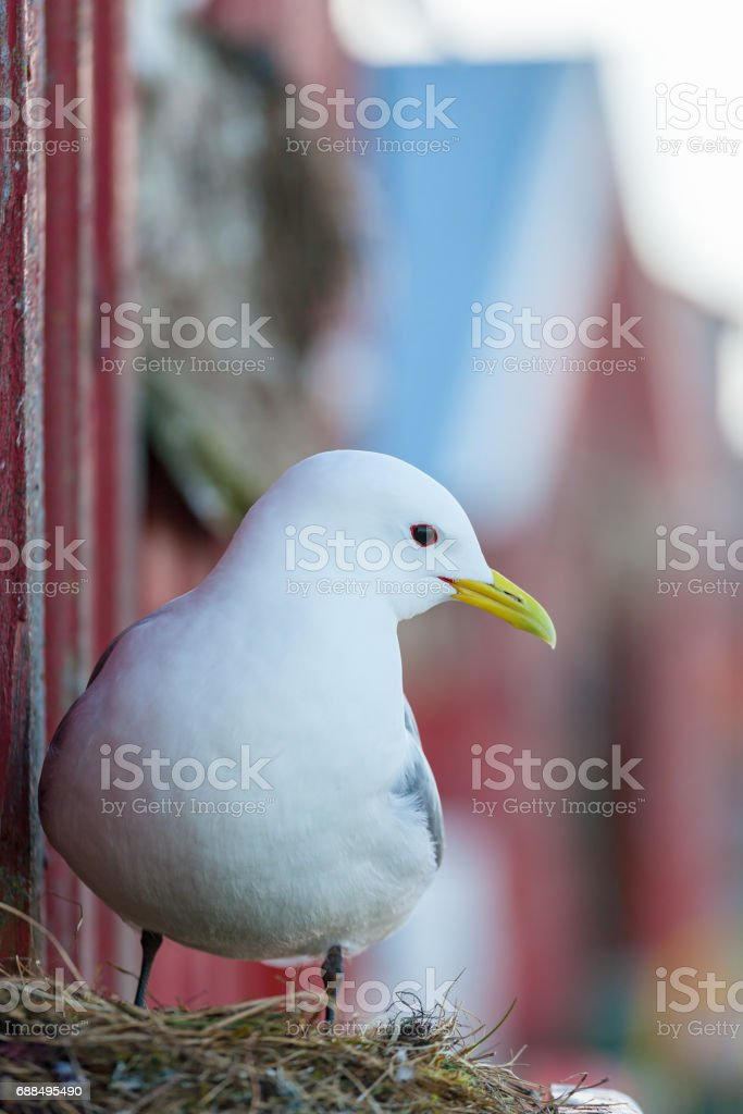 Kittiwake portrait at the wall of the boathouse stock photo